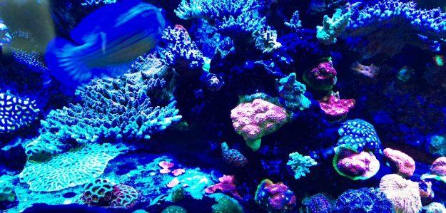 Corallivore Corals