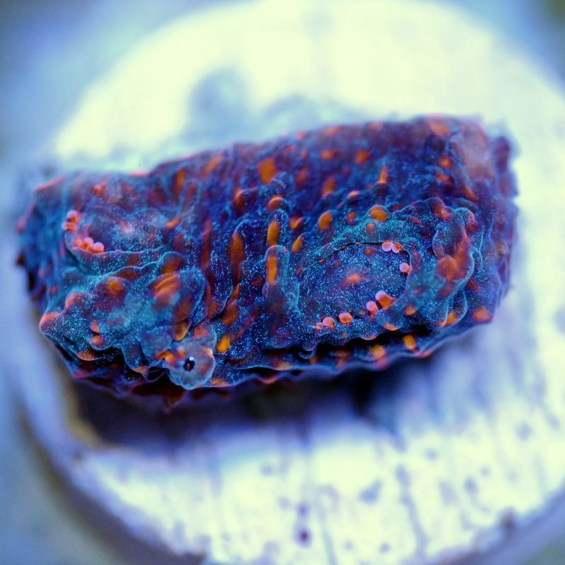 What is a Coral Frag?